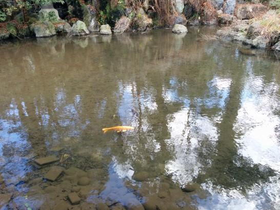 神宮の池の鯉