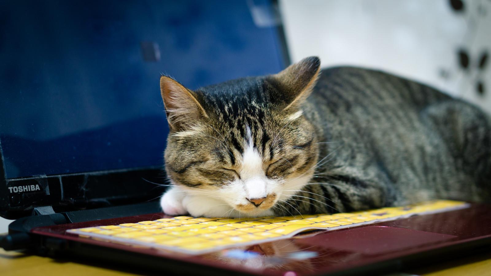 ノートPCの熱が暖かくて、その上でうたた寝する猫のフリー画像(写真)