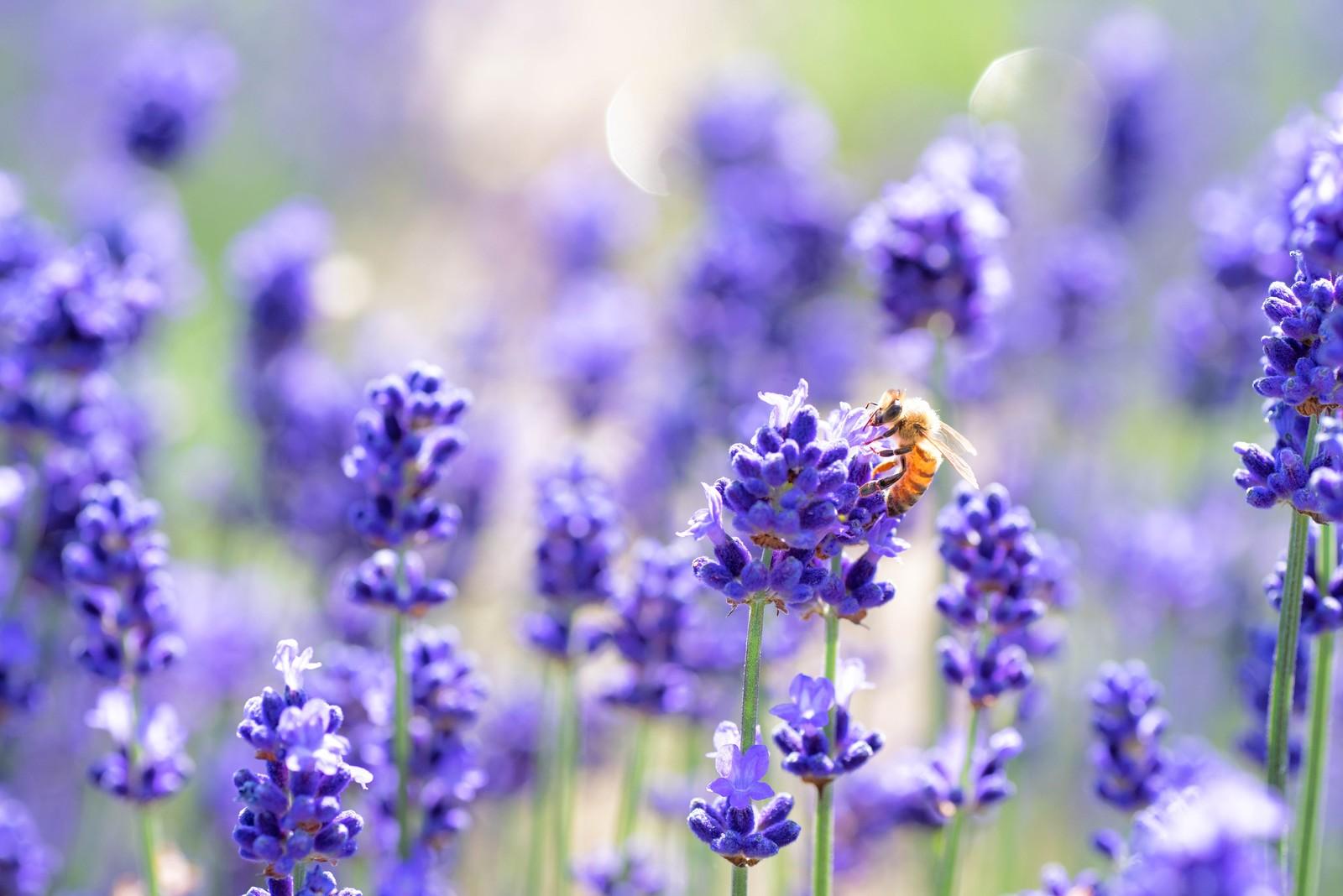 ラベンダーの香りに誘われるミツバチ